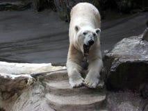 Yawning polar bear Royalty Free Stock Images
