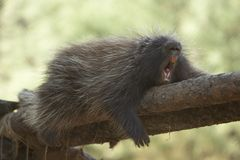 Yawning Porcupine Stock Photo