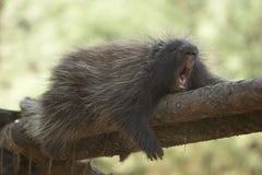 Yawning Porcupine Stock Photo