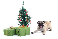 Yawning pug dog with christmas tree and presents Stock Photos