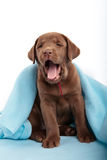 Yawning puppy Stock Image