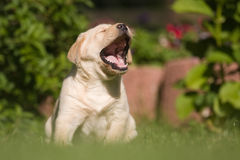 Yawning puppy. Labrador Retriever puppy yawning with wide opened mouth in the garden Stock Images