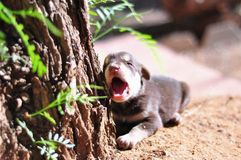 YAWNING PUPPY Royalty Free Stock Photos