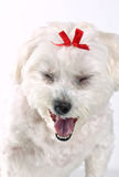 Yawning Puppy Dog. A tired white fluffy puppy dog yawning, focus to mouth Stock Image