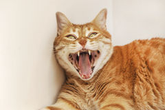 Yawning Red Cat Stock Images