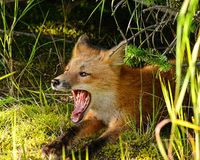 Yawning Red Fox Stock Image