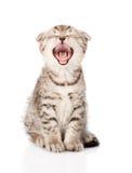 Yawning Scottish kitten sitting in front. isolated Stock Photo