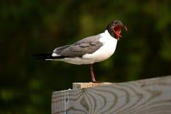 Yawning Seagull Royalty Free Stock Image