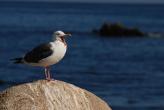 A yawning seagull Royalty Free Stock Image
