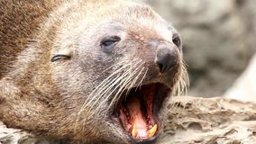 Yawning seal on the rocks stock footage