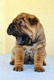 Yawning sharpei puppy Stock Photo