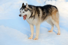 Yawning Siberian Husky dog black and white color. Winter view Royalty Free Stock Photo