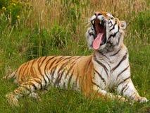 Yawning Siberian tiger Royalty Free Stock Image