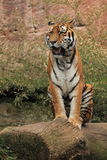 Yawning siberian tiger Stock Images
