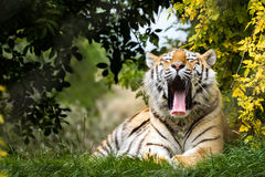 Yawning Siberian tiger Royalty Free Stock Photos