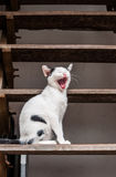 Yawning small kitten. On wood staircase Royalty Free Stock Photos
