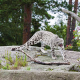 Yawning snow leopard Stock Photography