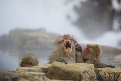 Yawning Snow Monkey in Hot Springs. Showing full set of fierce teeth while yawning widely, a pink-faced, wet snow monkey sitting in steamy hot springs is groomed stock photos