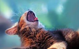 Yawning somali kitten. Ruddy somali kitten lying and yawning on a windowsill stock photos
