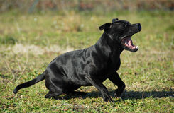 Yawning stafforsdshire bull terrier Royalty Free Stock Photography