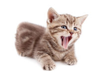 Yawning striped Scottish kitten lying Royalty Free Stock Photography