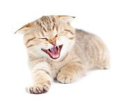 Yawning striped Scottish kitten lying isolated Royalty Free Stock Image