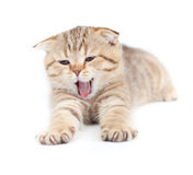 Yawning striped Scottish kitten lying isolated Stock Image