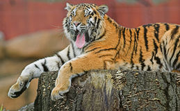 Yawning Tiger. Tiger awakening from sleep on tree stump Royalty Free Stock Photo