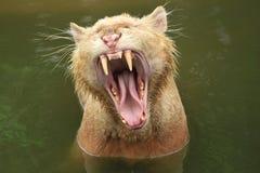 Yawning tiger royalty free stock image