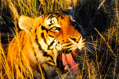 Yawning Tiger Royalty Free Stock Image