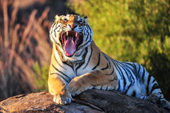Yawning Tiger Royalty Free Stock Photos