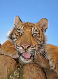 Yawning Tiger Cub Stock Images