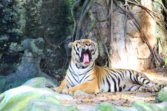 Yawning tiger feel sleepy in Thailand Stock Photo