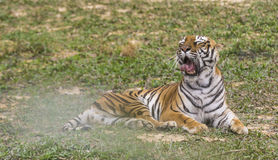 The Yawning Tiger Stock Photography