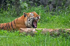 Yawning. A tiger yawning and ready to sleep royalty free stock photography