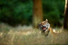Yawning tiger in tall grass. Big cat in summer forest. Siberian tiger, sleepy emotion stock photos