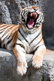 Portrait of yawning siberian tiger Stock Images