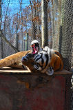Yawning tiger in zoo Royalty Free Stock Images