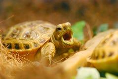Yawning Russian tortoise Stock Photography