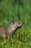 Yawning Uinta Ground Squirrel. A uinta ground squirrel caught yawning with mouth open Royalty Free Stock Image
