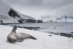 Yawning Weddell Seal with Penguins, Antarctica. Yawning Weddell Seal (Leptonychotes weddellii) lying on snow with Gentoo Penguins (Pygoscelis papua). Cuverville Stock Photo