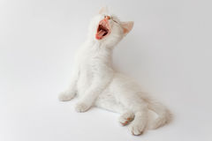 Yawning white cat Stock Image