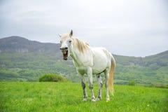 Yawning white horse on a nature background Royalty Free Stock Image