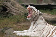 Yawning white tiger Stock Image