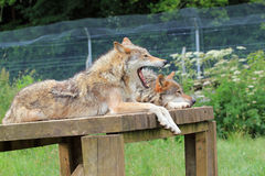 Yawning wolf. A tired or bored wolf yawning whilst lying on a wooden platform with another wolf Stock Photo