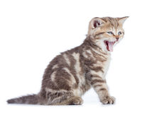 Yawning young cat isolated Stock Photo