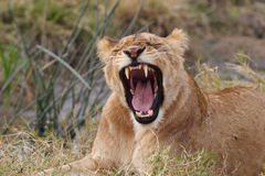 Yawning young lion Royalty Free Stock Photography