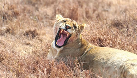 Yawning young lion Stock Image