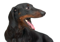Yawning young smooth black and tan dachshund Stock Image