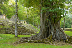 Yaxchilan. Big tree in Yaxchilan archeological site, Chiapas, Mexico Royalty Free Stock Photo